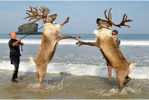 """Take a Family Trip to Gwel an Mor in Portreath, Cornwall - They've Got Their Own """"Frollicking Reindeer""""!!"""